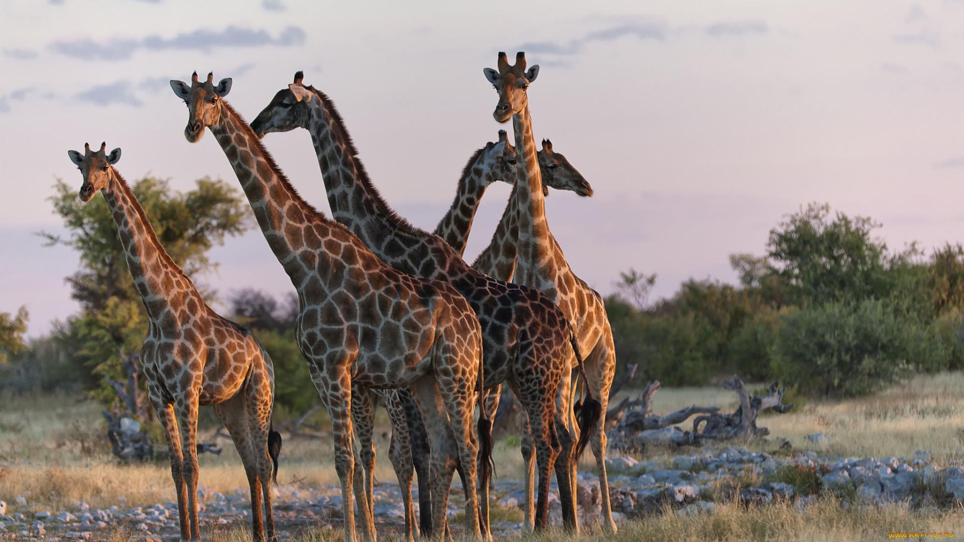 Жирафы трахаются
